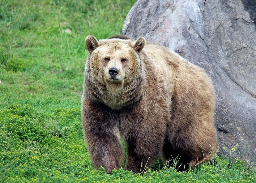 Grizzly Bears, An Endangered Species